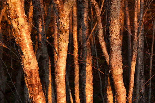 Ash Trees hit by early morning sunlight